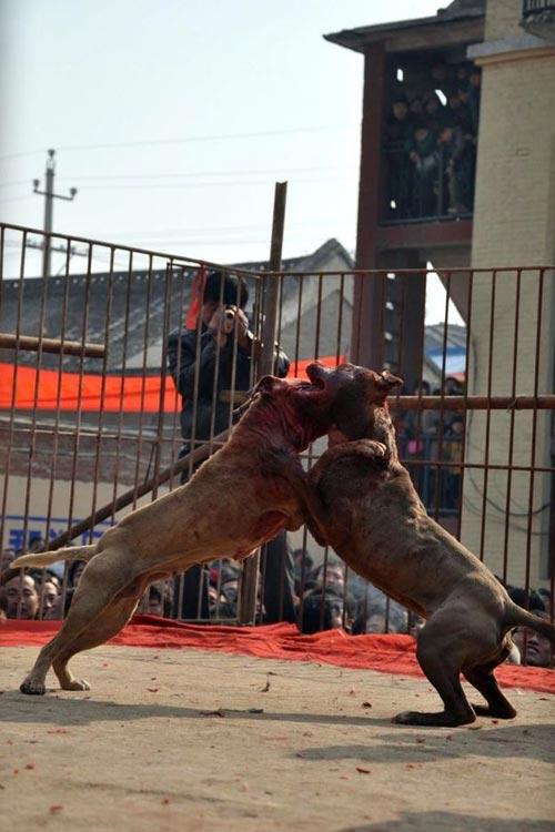 Xôn xao lễ hội chọi… chó - 3