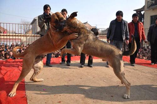 Xôn xao lễ hội chọi… chó - 5