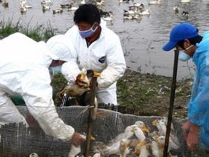 Dịch cúm A/H5N1 có nguy cơ bùng phát - 1