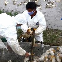 Dịch cúm A/H5N1 có nguy cơ bùng phát