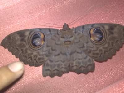 """Xôn xao """"bướm mặt người báo oán"""" - 1"""