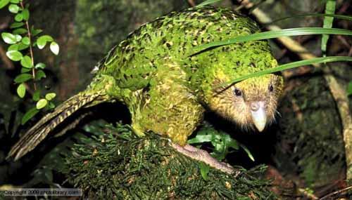 Loài vẹt lãnh cảm nhất thế giới - 1