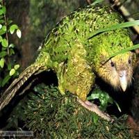 Loài vẹt lãnh cảm nhất thế giới