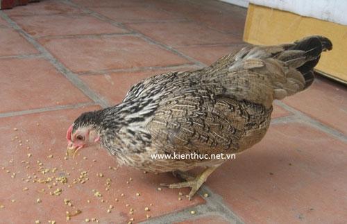Hà Nội xuất hiện trứng gà bé hơn đồng xu - 1