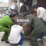Tin tức trong ngày - Bắt con hổ nặng 2 tạ giữa khu dân cư