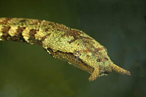 Loài rắn kỳ dị nhất của Việt Nam - 1