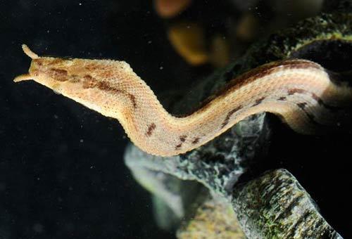 Loài rắn kỳ dị nhất của Việt Nam - 5
