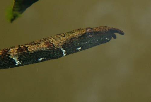 Loài rắn kỳ dị nhất của Việt Nam - 6