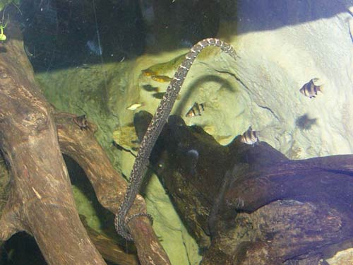 Loài rắn kỳ dị nhất của Việt Nam - 7