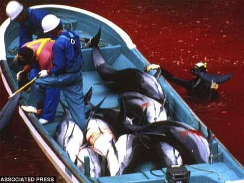 Thảm sát đẫm máu cá heo ở Nhật - 1