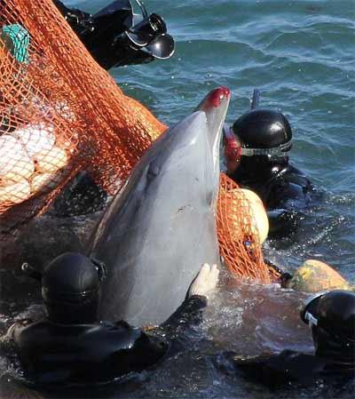 Thảm sát đẫm máu cá heo ở Nhật - 2