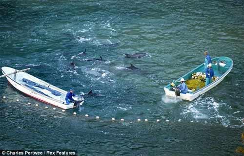 Thảm sát đẫm máu cá heo ở Nhật - 5