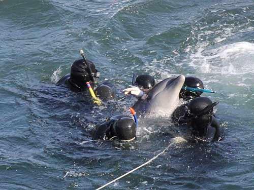 Thảm sát đẫm máu cá heo ở Nhật - 6