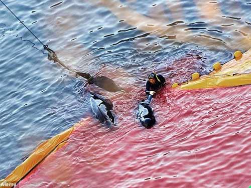 Thảm sát đẫm máu cá heo ở Nhật - 7