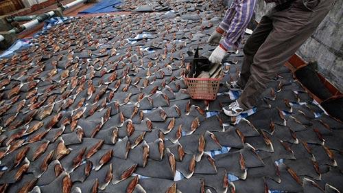 Sốc: Ngàn miếng vi cá mập phơi nóc nhà - 2