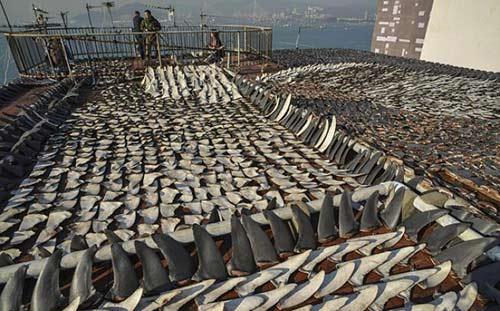 Sốc: Ngàn miếng vi cá mập phơi nóc nhà - 3