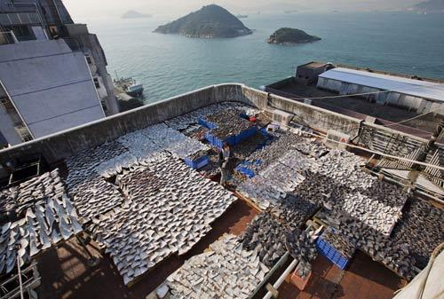 Sốc: Ngàn miếng vi cá mập phơi nóc nhà - 6