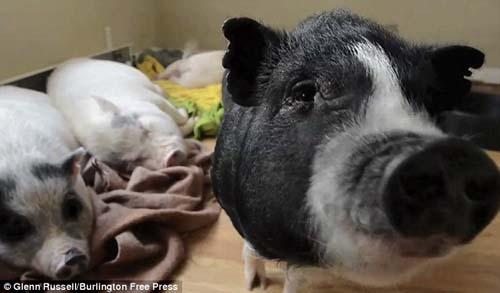 Cô gái ăn, ở với 40 con lợn - 5