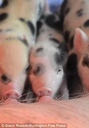 Cô gái ăn, ở với 40 con lợn - 4