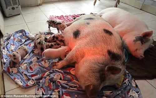 Cô gái ăn, ở với 40 con lợn - 6