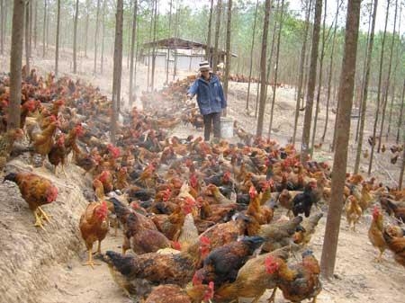 Khó gắn tem hàng hiệu cho 6 triệu con gà - 1