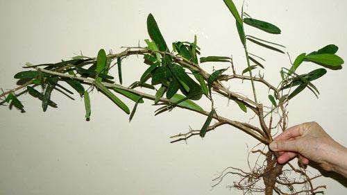 Sẽ cấm chữa bệnh bằng cây xáo tam phân - 2