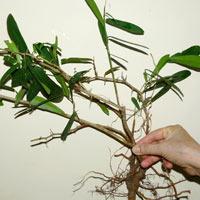 Sẽ cấm chữa bệnh bằng cây xáo tam phân-Cay xao tam phan |Suc khoe doi