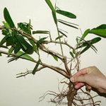Sức khỏe đời sống - Sẽ cấm chữa bệnh bằng cây xáo tam phân