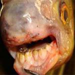 Phi thường - kỳ quặc - Những con cá quái dị