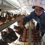Thị trường - Tiêu dùng - Tăng giá trứng: Người chăn nuôi không được lợi