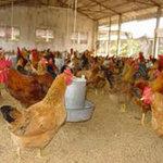 Thị trường - Tiêu dùng - Trứng giảm giá, dân bán tháo gà đẻ