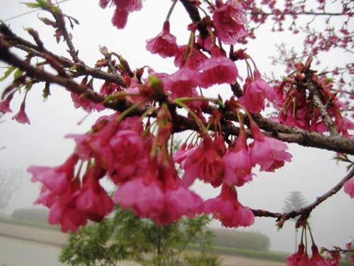 Sắc hoa anh đào Sa Pa làm ấm lòng dân phượt - 1
