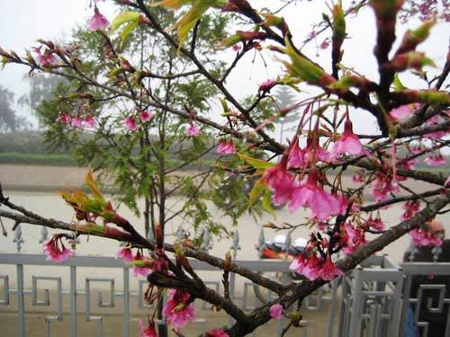 Sắc hoa anh đào Sa Pa làm ấm lòng dân phượt - 2