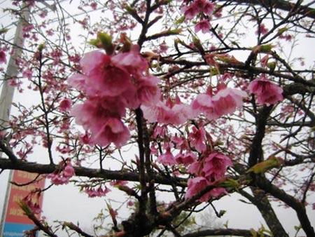 Sắc hoa anh đào Sa Pa làm ấm lòng dân phượt - 3