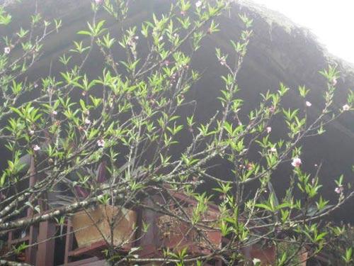 Sắc hoa anh đào Sa Pa làm ấm lòng dân phượt - 6