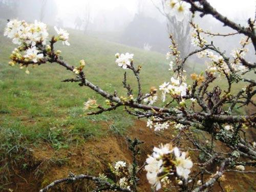Sắc hoa anh đào Sa Pa làm ấm lòng dân phượt - 7