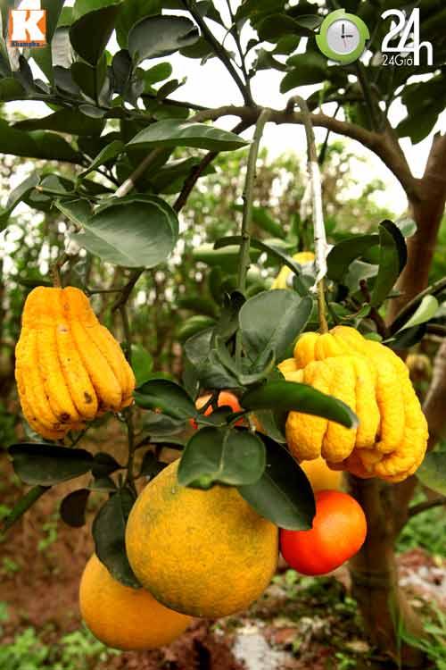 Kỳ lạ 1 cây cho 5 loại quả khác nhau - 9