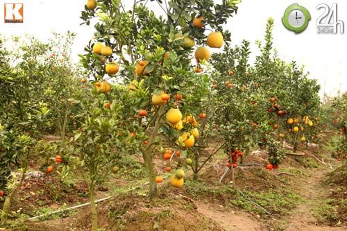 Kỳ lạ 1 cây cho 5 loại quả khác nhau - 2