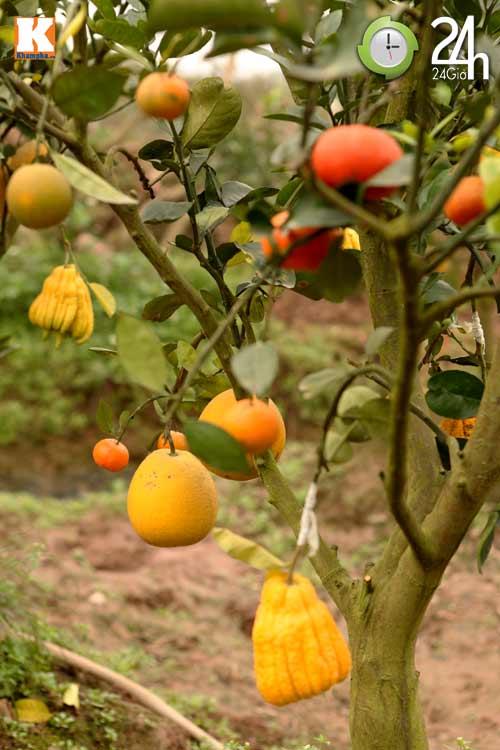 Kỳ lạ 1 cây cho 5 loại quả khác nhau - 13