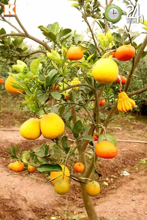 Kỳ lạ 1 cây cho 5 loại quả khác nhau - 11
