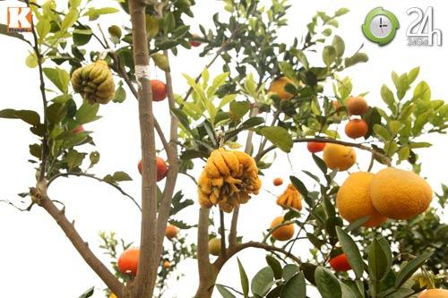 Kỳ lạ 1 cây cho 5 loại quả khác nhau - 10