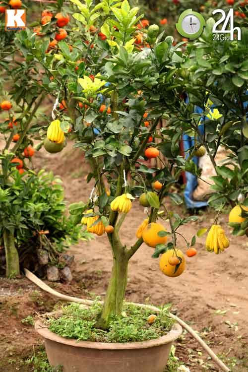 Kỳ lạ 1 cây cho 5 loại quả khác nhau - 12