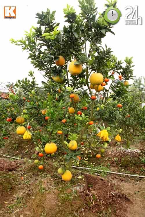 Kỳ lạ 1 cây cho 5 loại quả khác nhau - 14