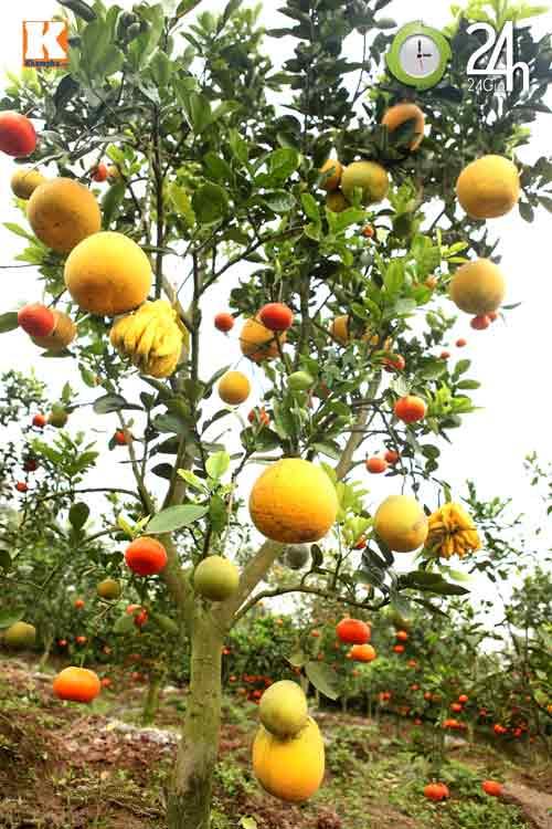 Kỳ lạ 1 cây cho 5 loại quả khác nhau - 6