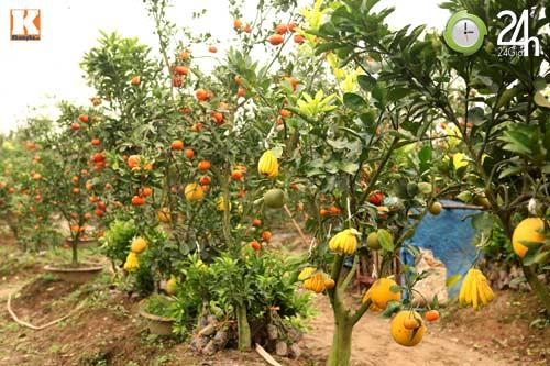 Kỳ lạ 1 cây cho 5 loại quả khác nhau - 3