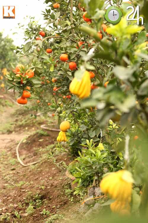 Kỳ lạ 1 cây cho 5 loại quả khác nhau - 4
