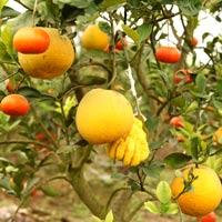Kỳ lạ 1 cây cho 5 loại quả khác nhau