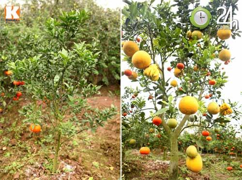 Kỳ lạ 1 cây cho 5 loại quả khác nhau - 5