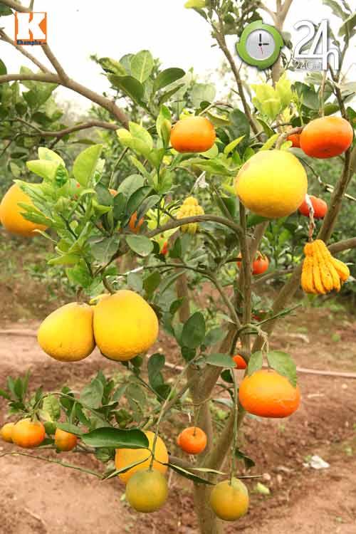 Kỳ lạ 1 cây cho 5 loại quả khác nhau - 1