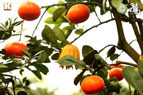 Kỳ lạ 1 cây cho 5 loại quả khác nhau - 8